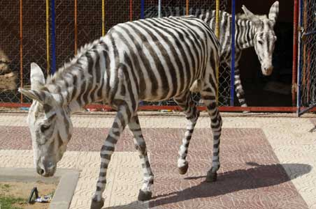 Zebra Stripes for Donkeys