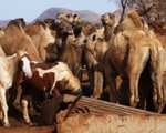 Australian town 'under siege' from camels