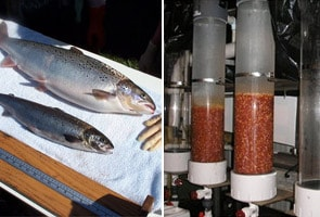 Genetically altered salmon get closer to the table