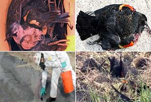 500 more birds drop dead from US skies