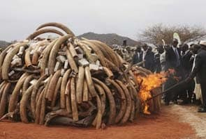 London Auto Sales >> 2,500 elephants killed in 2011 for ivory