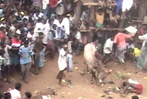 Madras High Court permits Jallikattu this year