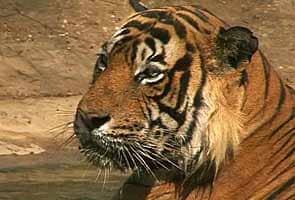 Tigers: Still in Hiding?