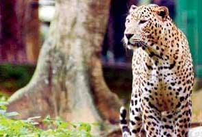 356 leopard deaths in India in 365 days