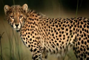 Supreme Court stops government from importing cheetahs from Namibia