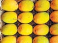 Boy killed for plucking mangoes