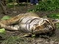 Poaching fears return to Corbett with another tiger death
