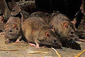 Rats recruited to hunt for tuberculosis in Mozambique