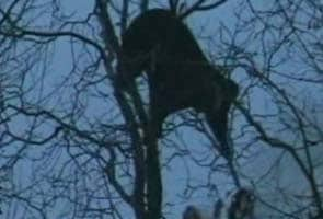 Mob tries to set helpless bear ablaze in Kashmir, probe ordered