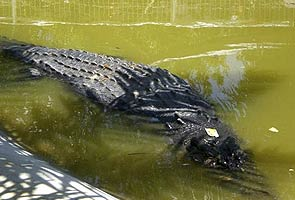 Injured crocodile may get a titanium jaw