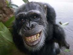 Chimps do not give in to peer pressure