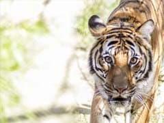 Tiger attacks: Shoot-at-sight order issued, says Karnataka forest minister