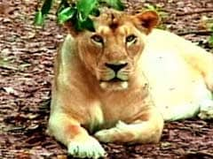 Two lionesses mowed down by train in Gujarat
