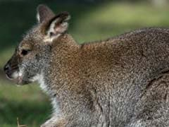 Six kangaroos die in stray dog attack at Russian zoo
