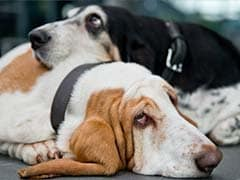 Rio de Janeiro to ban cosmetic surgery... for dogs, cats