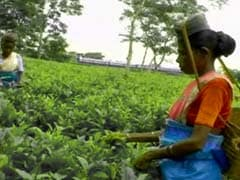 India Matters: The despair and hope of Assam tea garden workers this election