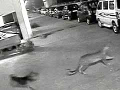 Mumbai's chase of the year: Stray dog chases leopard away
