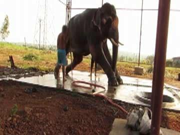 14-year-old elephant Sunder still being abused: PETA