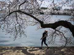 'Cherry tree from space' mystery baffles Japan