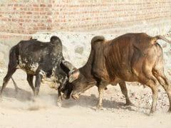Ghaziabad: Bull Gores Man to Death, Injures Five Others