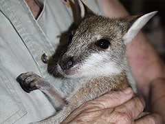 Baby Wallaby Rescued from Facebook Sale