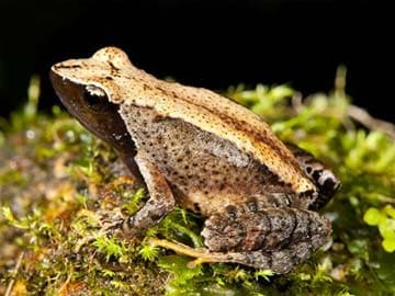 New 'Dancing Frog' Species Found in India's West Coast