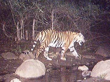 Bhopal: Man-Animal Conflict Brings to Focus Tiger Safety