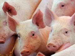 US Pigs Raised With a Taste for And of Whiskey
