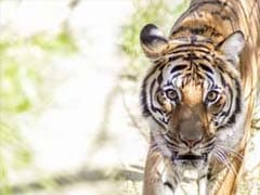 Chinese Fisherman's Life of Pi Moment With Siberian Tiger