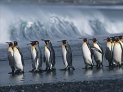Iconic Emperor Penguins Facing Risk of Extinction
