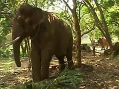 After Years of Abuse, Sunder, the Elephant is Home at Last