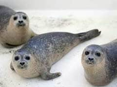 Outrage After Six Baby Seals Found Decapitated In New Zealand