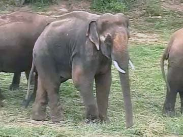 With a New Girlfriend, Sunder,  the Elephant Moves Towards Recovery