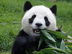Edinburgh Zoo's Giant Panda Conceived