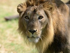 Four Lions Died on Railway Tracks in Gir in 2014, Says Minister