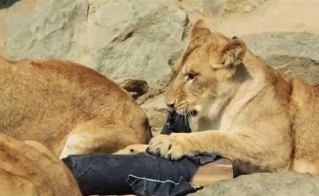 Japan Zoo Makes Wild Fashion Statement with Lion-Ripped Jeans