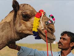 Camel to Become Rajasthan's State Animal