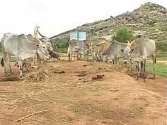 Karnataka Running Out of Fodder, Its Livestock May Face Starvation