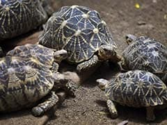 97 Smuggled Star Tortoises To Be Brought Back To India