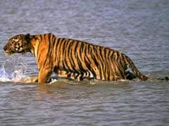 Tiger Carries Away Woman in Bengal