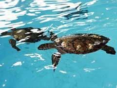 Endangered Sea Turtles Left Stranded in Gujarat