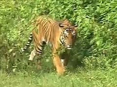 Tiger-Spotting in the Forests of Karnataka