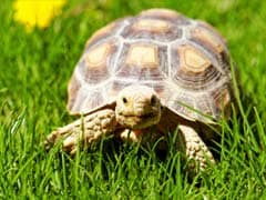 Big Tortoise Found Strolling in Los Angeles Suburb