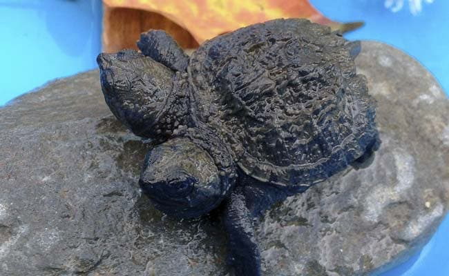 Woman Finds Two-Headed Baby Snapping Turtle
