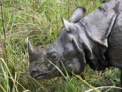 After 72 Hours of Excruciating Pain, a Rhino Dies at Kaziranga