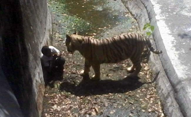 Man Killed By White Tiger Blamed; He Was Mentally ill, Says Delhi Zoo