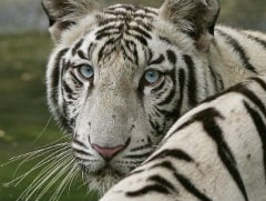 White Tiger No Man-Eater: Delhi Zoo