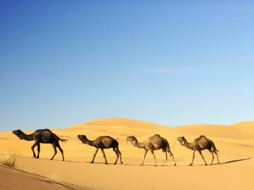 Camels Cannot be Slaughtered for Food: Animal Welfare Board