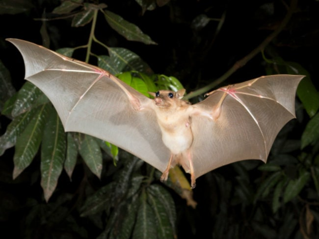 Ebola-Carrying Bats May be Heroes as Well as Villains