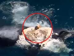 Australian Man Apologises for 'Surfing' on Dead Whale